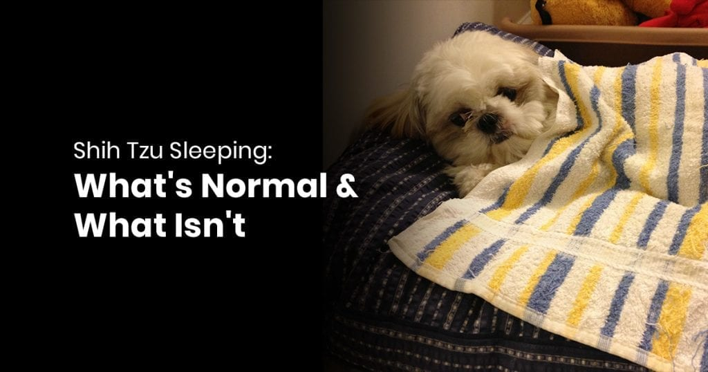 Shih Tzu Sleeping Whats Normal & What Isnt