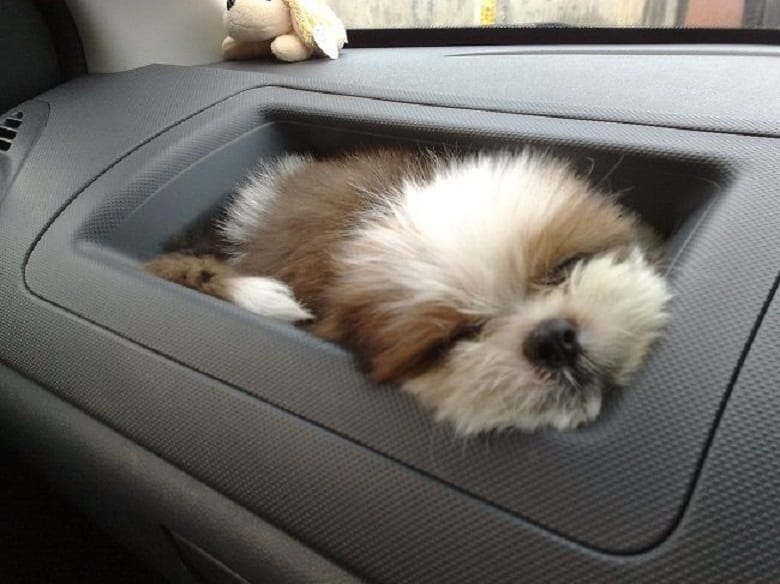 Shih Tzu Sleeping Cute