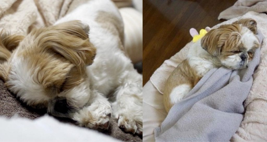 Shih Tzu Sleep