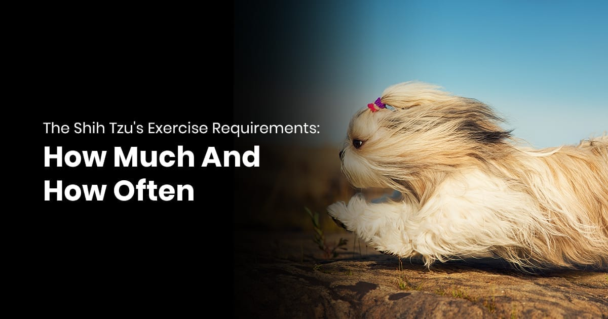 The Shih Tzus Exercise Requirements How Much And How Often