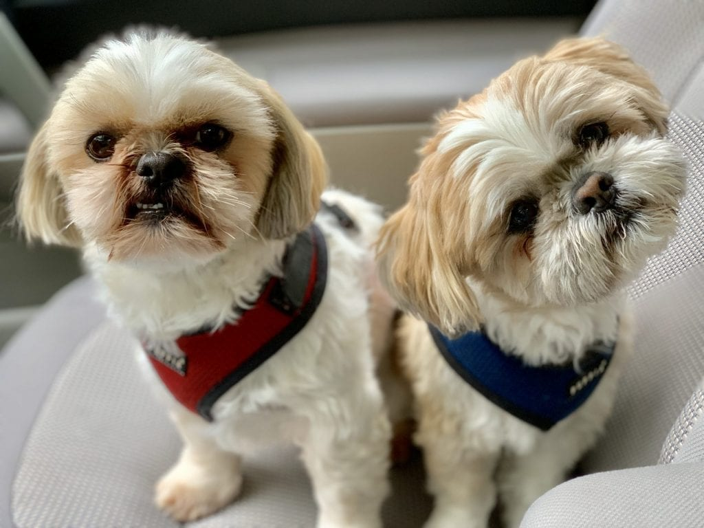 Tough Love Shih Tzu