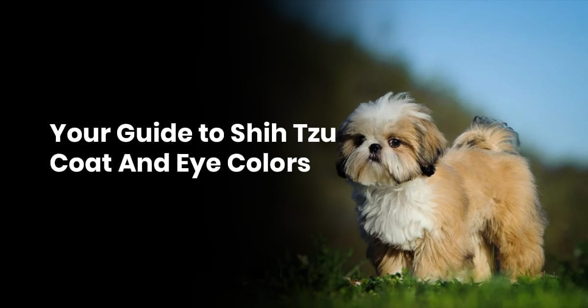 Your Guide To Shih Tzu Coat And Eye Colors Shihtzucenter