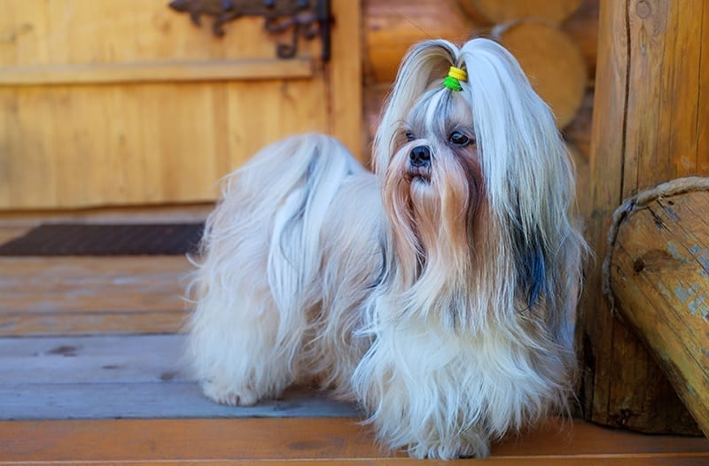 shih tzu without leashs