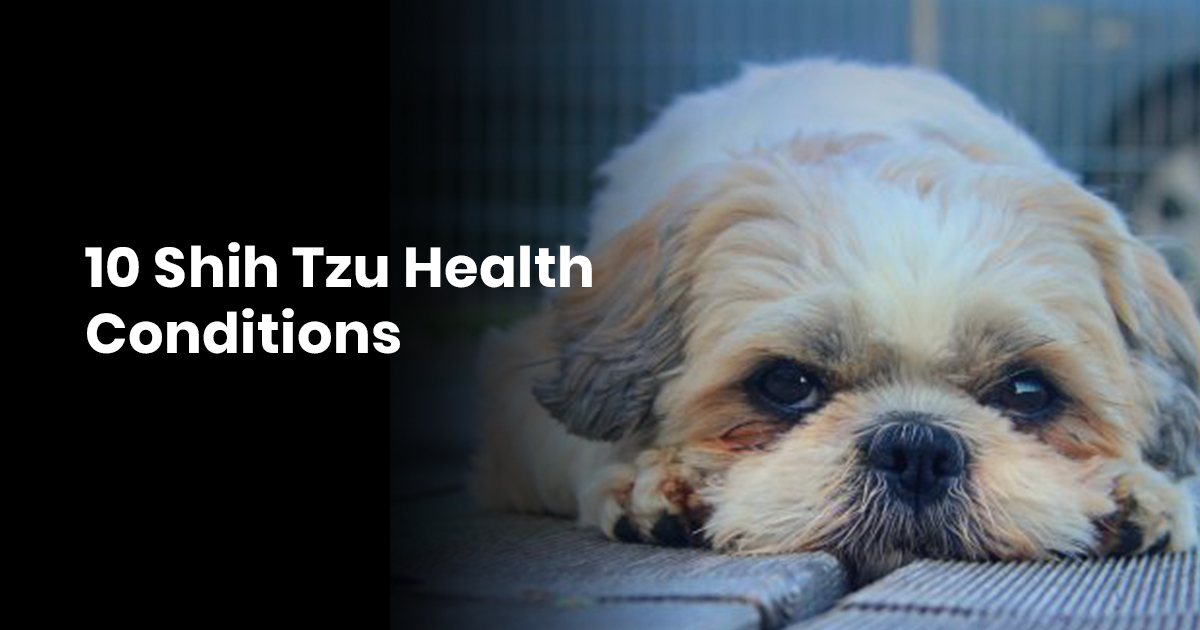 10 Shih Tzu Health Conditions