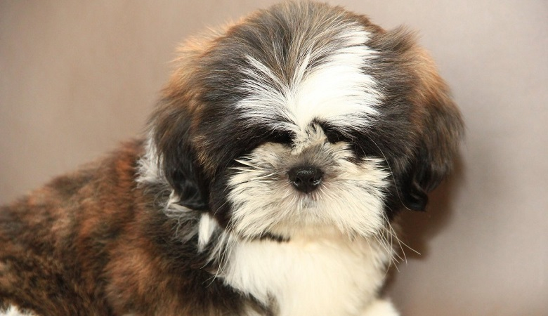 Shih Tzu's Temperament