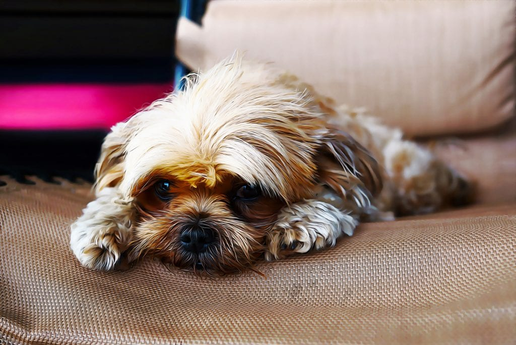 CAN A SHIH TZU BE LEFT ALONE?