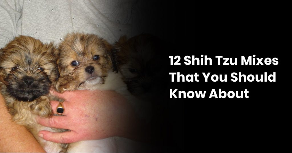 12 Shih Tzu Mixes That You Should Know About