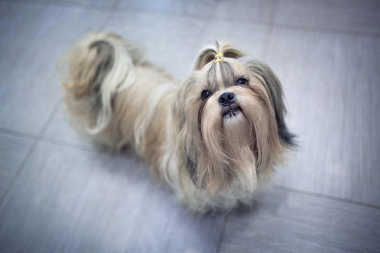 Shih tzu dog in home asking for something to eat
