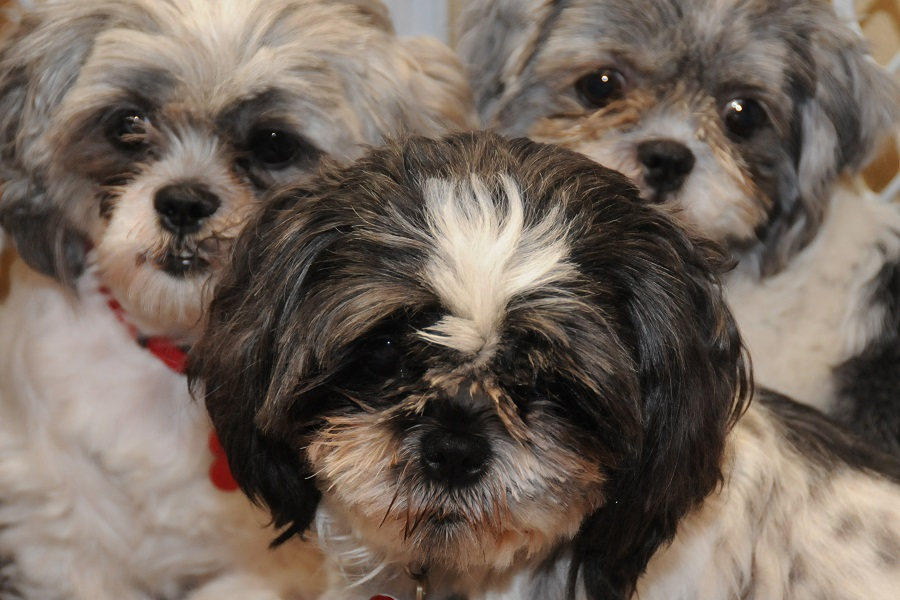 8 Shih Tzu Varieties That You Should Know About