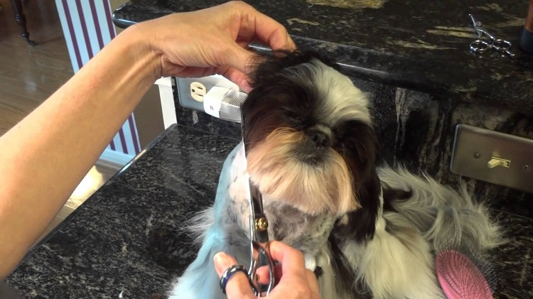 How Often Does A Shih Tzu Need A Haircut?