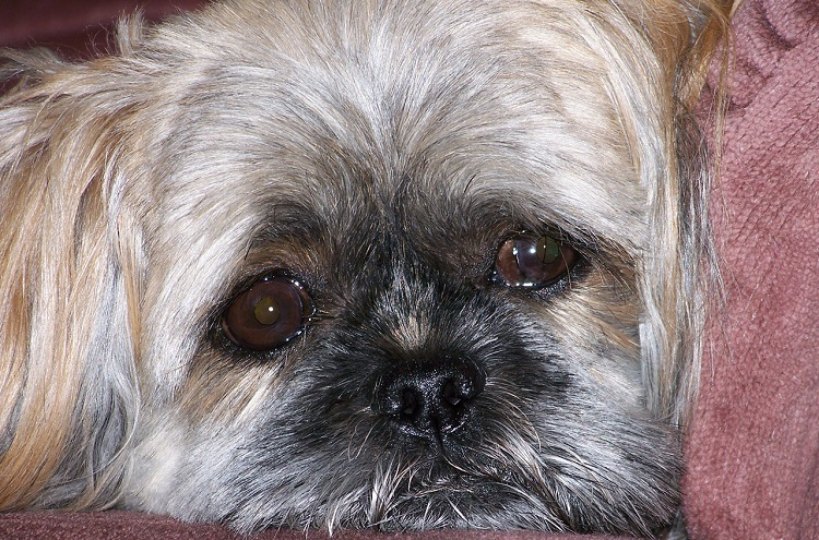 Are Shih Tzu Dogs Allergy Free?