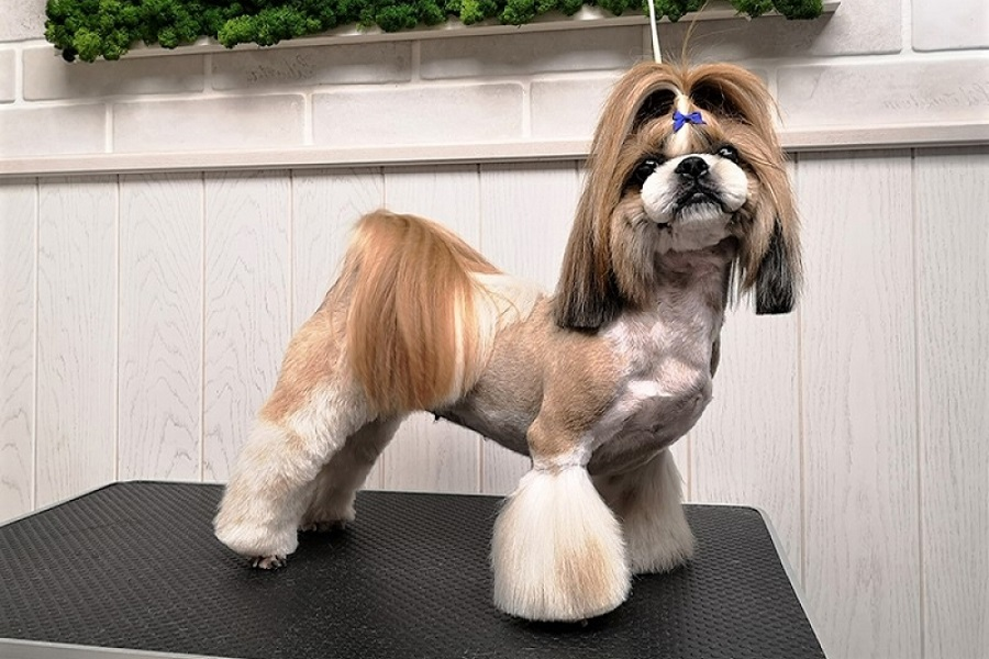 Shih Tzu Haircuts When Where And How Shihtzucenter